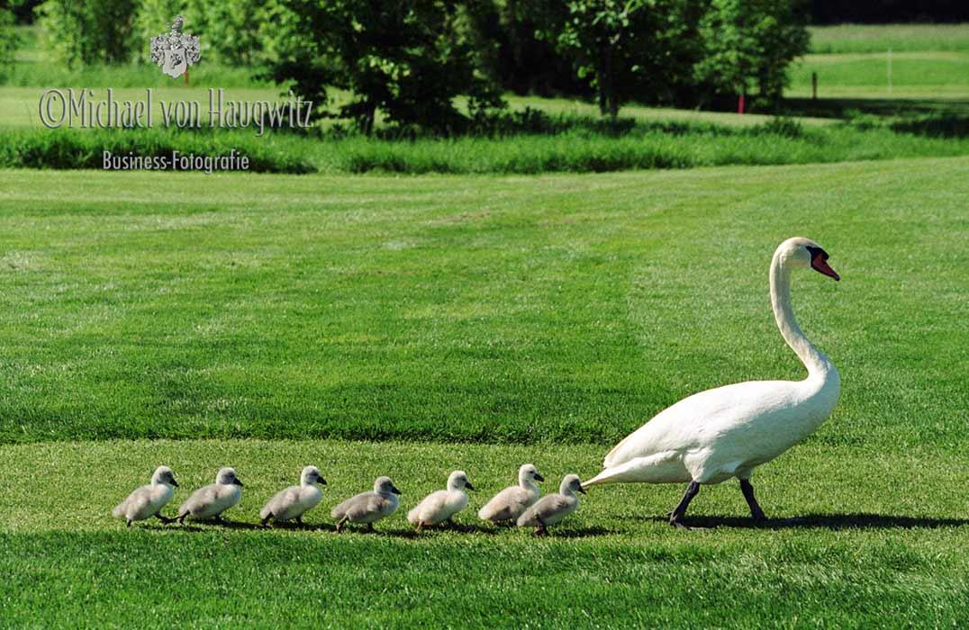 Schwanenfamilie | Golfclub St. Leon-Rot