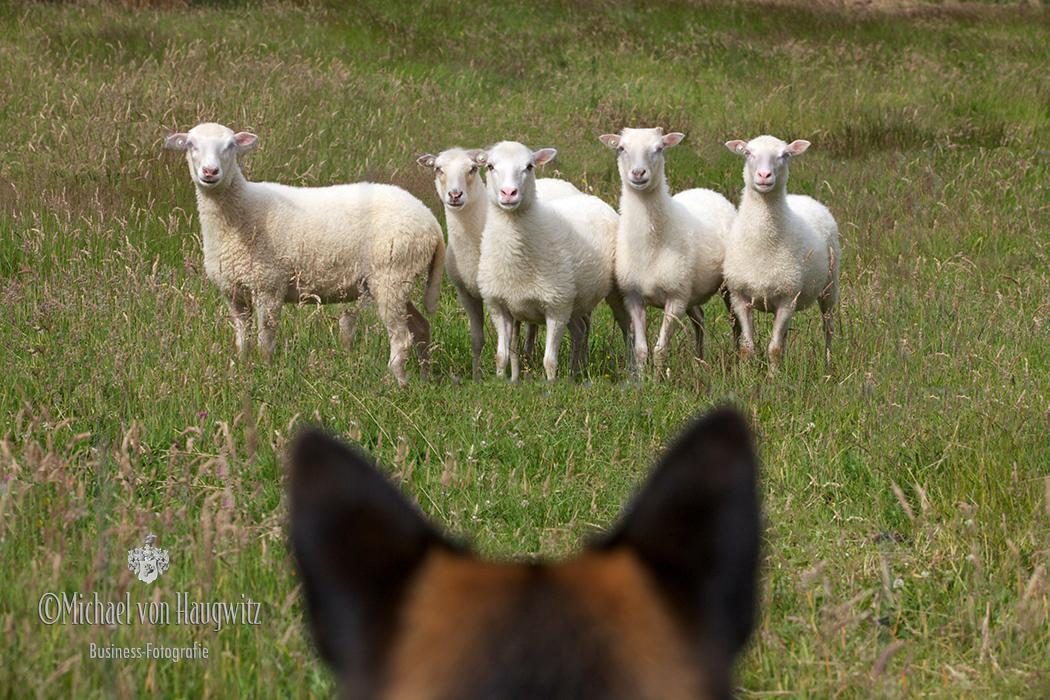 Die Schafe und der Schaeferhund | Eifel