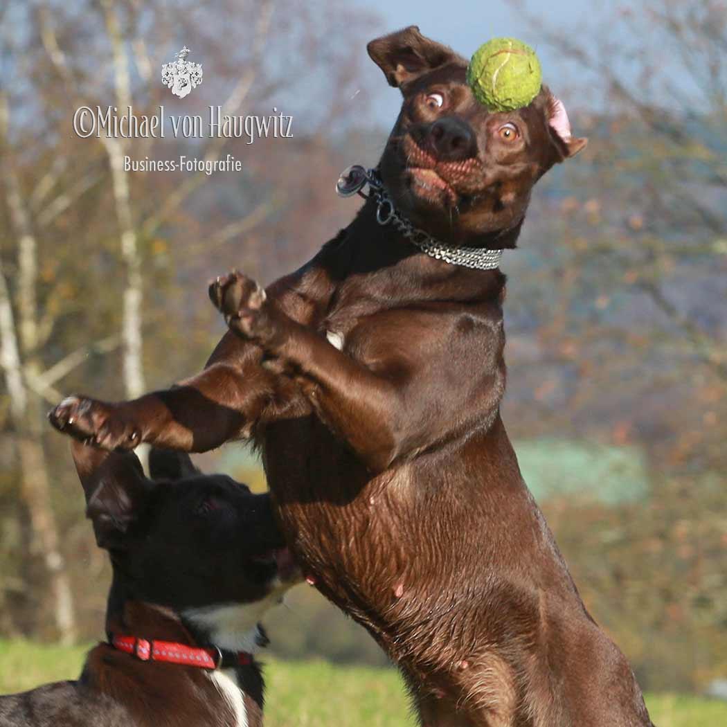 Labrador Braun | Bad Schwalbach