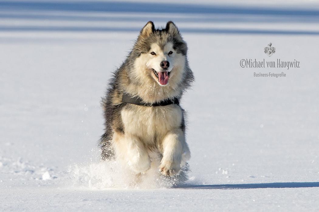 Alaskan Malamute   Rassehund Deutschland