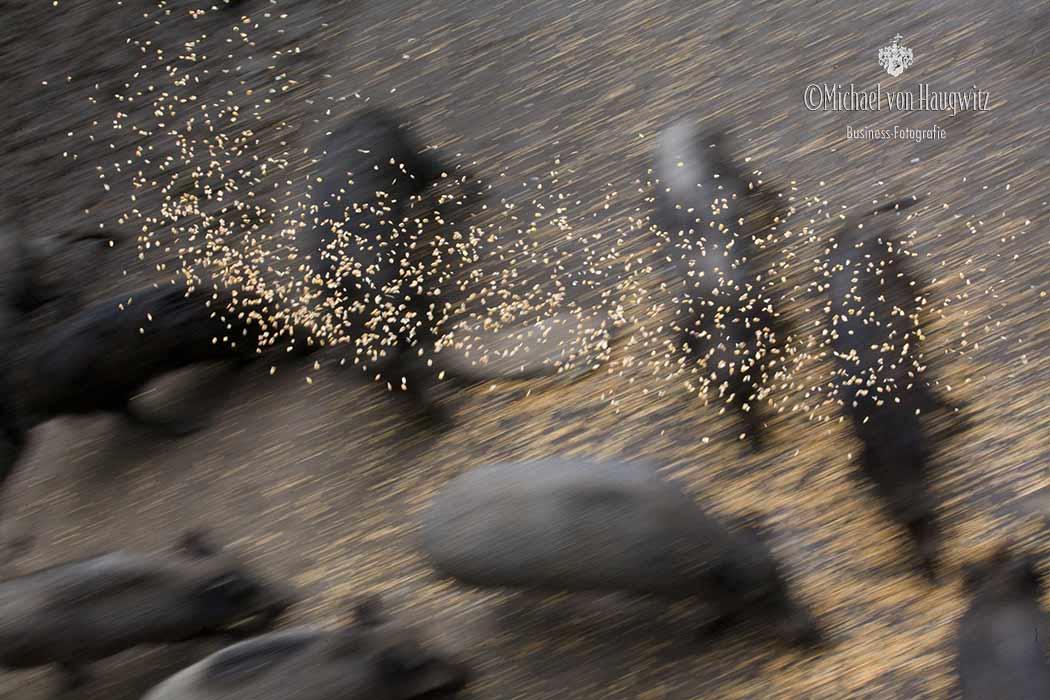 Wildschwein Fütterung | Wild- und Erlebnispark Daun